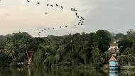 Flock of Cormorants over Mahaveli river