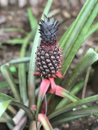 Very Rare Red Pineapple