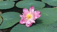 Lotus in Diyatha Uyana