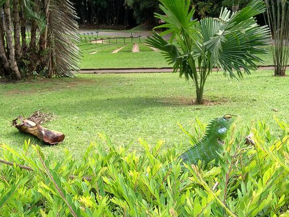 Chameleon in Royal Botanic Gardens